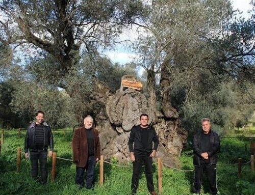 """""""Αρχαία ελαιόδεντρα – η ψυχή της Κρήτης κινδυνεύει"""""""
