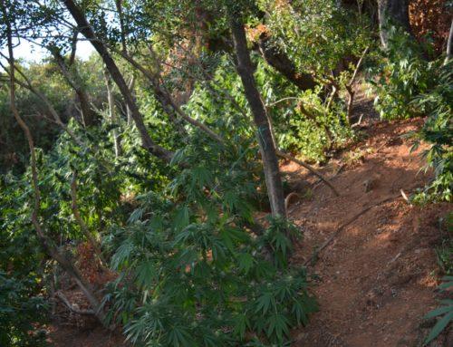 Εντοπίστηκαν δύο φυτείες δενδρυλλίων κάνναβης, στα Χανιά