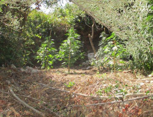 Εντοπίστηκαν δύο φυτείες δενδρυλλίων κάνναβης, στο Ρέθυμνο